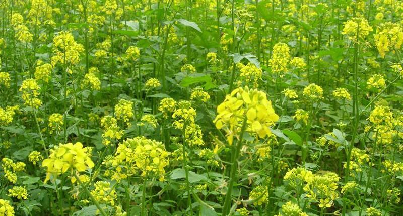 Zofiger Bio-Senf Blüte gelber Senf