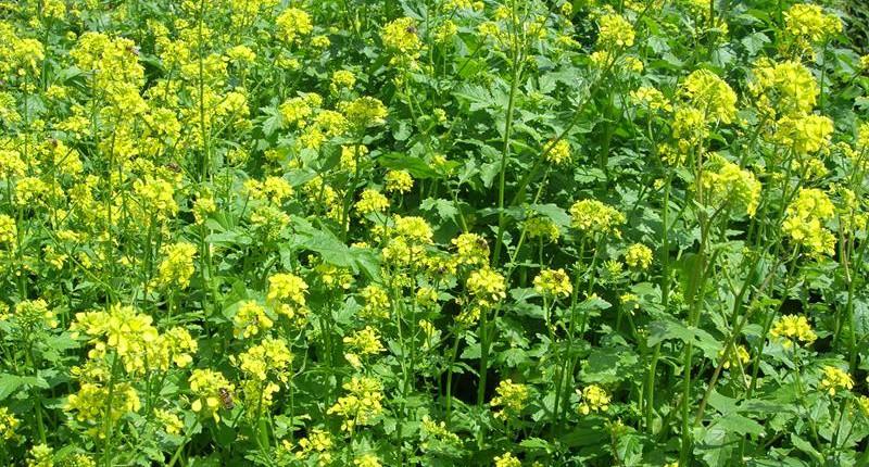 Zofiger Bio-Senf Blüte
