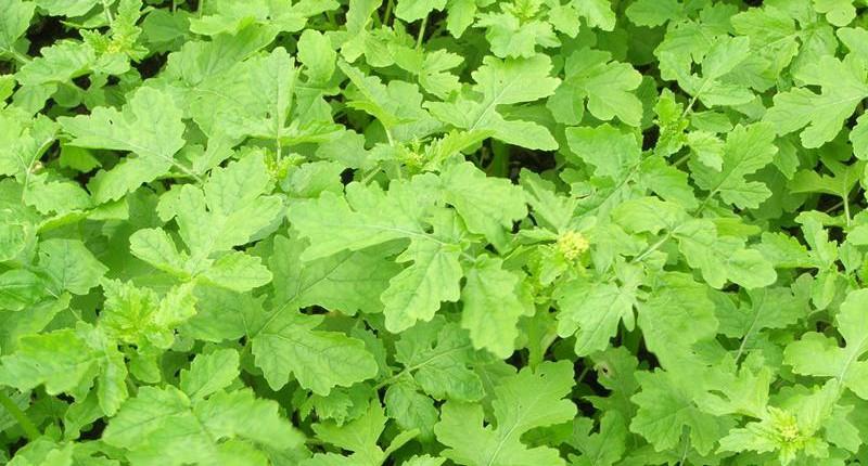 Zofiger Bio-Senf Blüte  brauner Senf