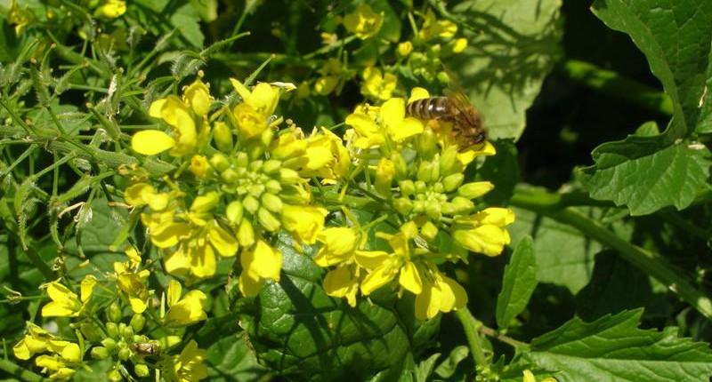 Zofiger Bio-Senf Blüte mit Biene