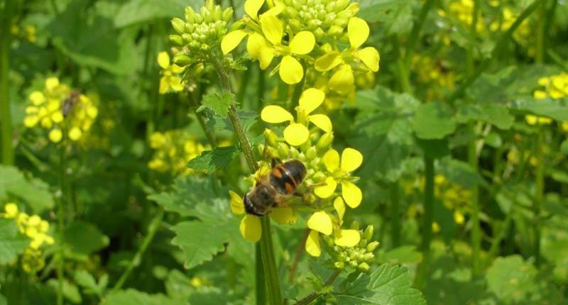 Zofiger Bio-Senf Blüte mit FLiege