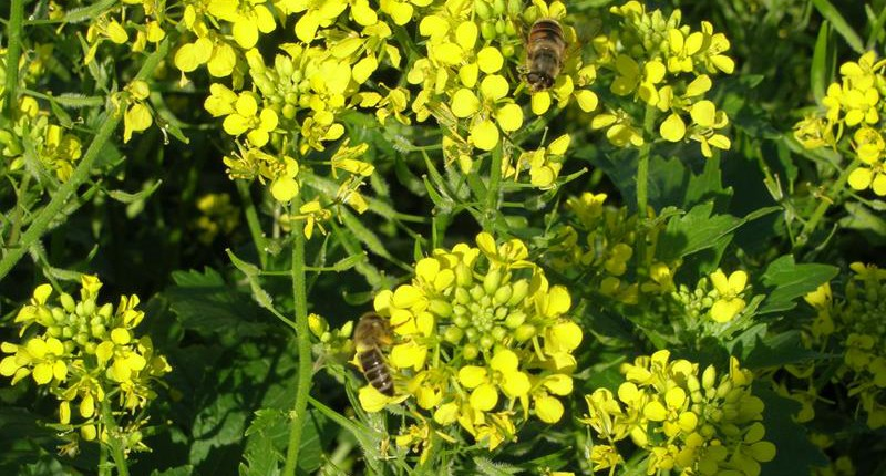 Zofiger Bio-Senf Blüte mit Biene und Fliege