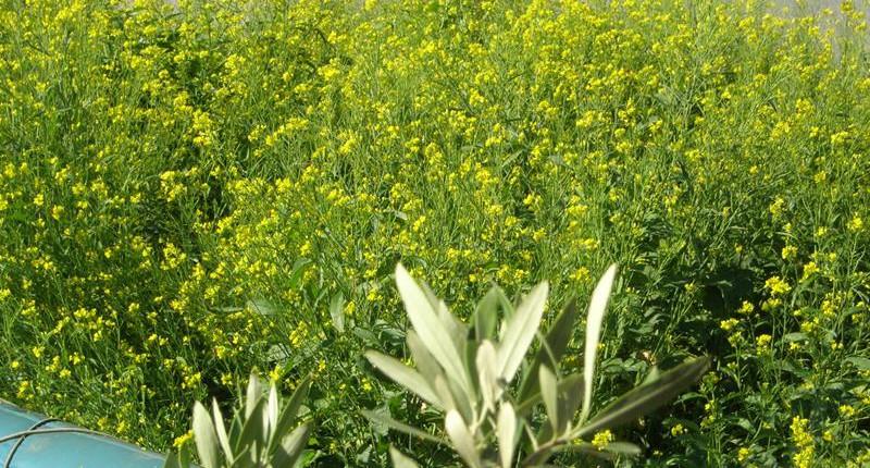 Gelber Senf im Garten